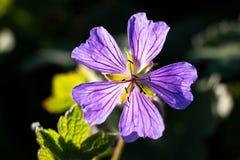 宏观反对黑背景的特写镜头狂放的紫色花 免版税库存照片