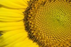 宏观向日葵上面 库存照片