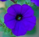 宏观喇叭花紫色 库存图片