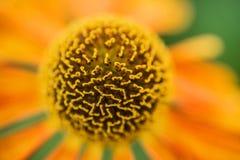宏观图象黑眼睛的苏珊夏天花黄金菊赫塔岛 免版税图库摄影