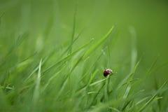 宏观在南海岸的英国英国庭院里采取的绿草刀片的瓢虫摄影图象需要的清早 免版税库存图片
