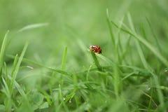 宏观在南海岸的英国英国庭院里采取的绿草刀片的瓢虫摄影图象需要的清早 库存图片