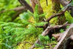 宏观在的摄影女性配子体被吃的 棵子植物家庭  豪华的分支 冷杉分支 云杉 库存图片