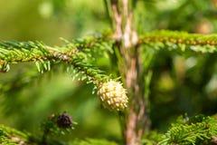宏观在的摄影女性配子体被吃的 棵子植物家庭  豪华的分支 冷杉分支 云杉 免版税库存照片