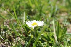 宏观在草的春黄菊美好的春天视图 免版税库存照片