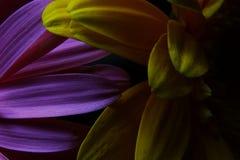 宏观大丁草花,水滴,低调画象 免版税库存图片