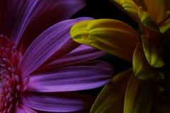 宏观大丁草花,水滴,低调画象 免版税库存照片