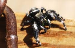 宏观大胆的跳跃的蜘蛛 库存图片