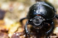 宏观射击臭虫geotrupidae 免版税库存图片