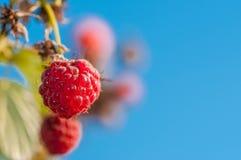 宏观射击,美丽的蓝天的水多的甜莓关闭 库存图片