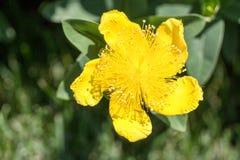 宏观射击黄色花 库存照片