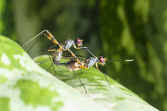 宏观射击飞行,昆虫联接 免版税库存照片