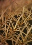 宏观小片 Echinocactus grusonii Hildm (金黄桶式仙人掌、金黄球,马瑟在法律的坐垫) 免版税库存照片