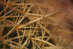 宏观小片 Echinocactus grusonii Hildm (金黄桶式仙人掌、金黄球,马瑟在法律的坐垫) 库存图片