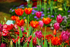 宏观小组在庭院那么新鲜的beautifu的红色桃红色郁金香花 库存图片