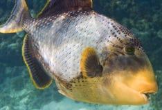 宏观引金鱼yellowmargin 免版税图库摄影