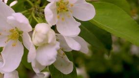 宏观录影摄制行动开花的苹果开花从风的特写镜头 股票录像