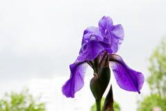 宏观摄影紫色虹膜,紫色虹膜背景,虹膜 库存图片