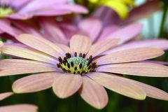 宏观桃红色和黄色的雏菊 免版税库存图片