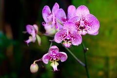 宏观桃红色开花的兰花 免版税库存图片