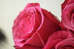 宏观桃红色浪漫玫瑰 免版税库存图片