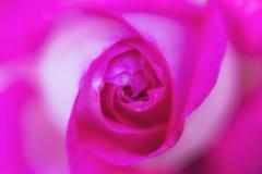 宏观桃红色玫瑰美丽的花 免版税库存照片
