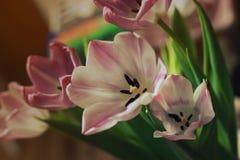 宏观桃红色的郁金香花束  免版税库存照片
