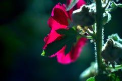 宏观桃红色花 图库摄影