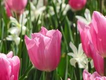 宏观桃红色郁金香白色黄水仙 免版税库存照片