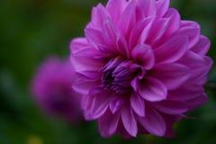 宏观淡紫色花 免版税库存照片