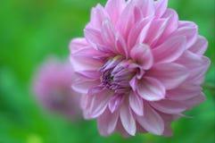 宏观淡紫色花 免版税库存图片