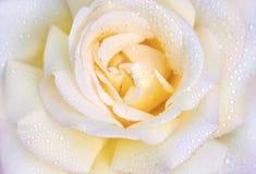 宏观照片上升了与水滴  美好的接近的玫瑰色黄色 免版税库存照片