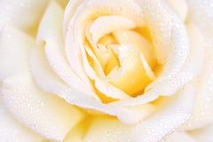 宏观照片上升了与水滴  美好的接近的玫瑰色黄色 图库摄影