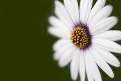 宏观照片或雏菊 免版税库存图片