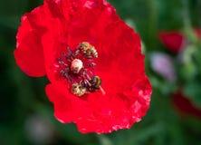 宏观照片收集花粉的蜂两从红色鸦片花 免版税库存照片