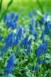 宏观照片春天植物花穆斯卡里armeniacum 与绿色叶子的背景紫色花穆斯卡里 蓝色穆斯卡里野花 免版税库存图片