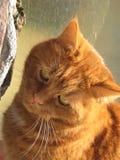 宏观照片有一只宠物猫的背景与颜色一片红色树荫的羊毛的在阳光下 免版税图库摄影