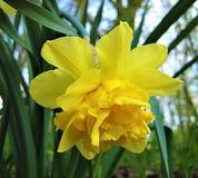 宏观照片有一朵美丽的春天花纳西斯的装饰背景与明亮的黄色瓣的 免版税库存照片
