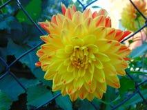 宏观照片有一朵美丽的黄色大丽花花的装饰背景 库存照片