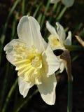宏观照片有一棵美丽的水仙的装饰背景开花与颜色白色树荫的瓣  库存照片