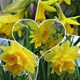 宏观照片有与美丽的黄色黄水仙的装饰拼贴画背景开花 免版税库存照片