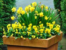 宏观照片有与美丽的黄色黄水仙的装饰背景开花 免版税库存照片