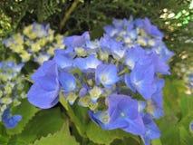 宏观照片有八仙花属花的美好的精美蓝色颜色装饰背景  免版税库存照片