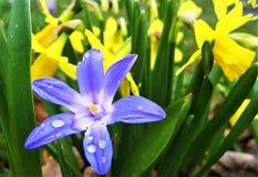 宏观照片有春天装饰背景开花报春花和黄色黄水仙 免版税库存照片