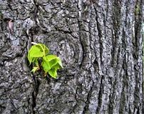 宏观照片有树皮纹理装饰背景和椴树新的年轻绿色叶子  库存照片