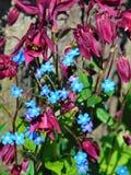 宏观照片有深红Aquilegia和明亮的蓝色勿忘草美丽的夏天花装饰背景和纹理  免版税库存图片