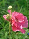 宏观照片有特里鸦片一朵美丽的花的装饰背景与桃红色颜色的瓣的 免版税库存照片