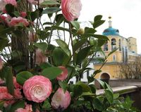 宏观照片有美丽的花装饰背景与山茶花植物精美桃红色树荫的瓣的  免版税库存图片