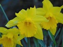 宏观照片有美好的春天装饰背景开花黄水仙 免版税库存图片