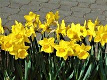 宏观照片有美好的春天装饰背景开花黄水仙 图库摄影